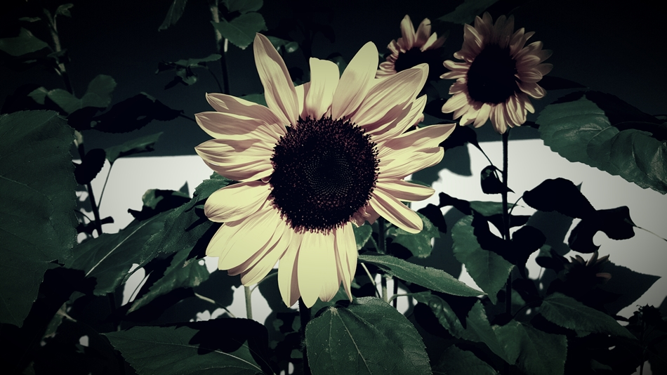 Sunflowers And Mirrors Post Image Edited 950